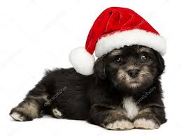 cute christmas havanese puppy dog with a santa hat u2014 stock photo