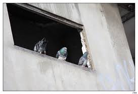 Pigeons Images?q=tbn:ANd9GcTLkRIHOh--BvFOXu5axKfNfTXacqjWe38Fxjox3hO-5sDl9XqtlA