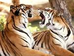 Harimau | Animal Planet