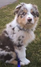 australian shepherd queen creek az australian shepherd aussie dog house pinterest australian