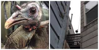 Bay Area News  Local News  Weather  Traffic  Entertainment     Wild Turkey Captured After Chase in SF
