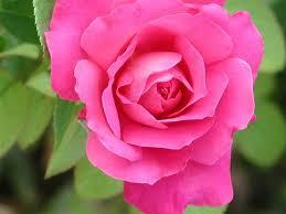 Las flores que nos gustan. Images?q=tbn:ANd9GcTOrI0q77bjko3jNoqtC38UyXH0bfa50NRaT5pg0sh3ERnBwv4f