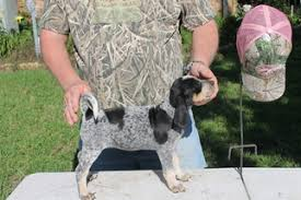 training a bluetick coonhound to hunt view ad bluetick coonhound puppy for sale texas college station