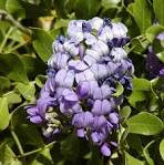 Image result for Sophora secundiflora