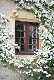best 25 clematis trellis ideas on pinterest clematis climbing