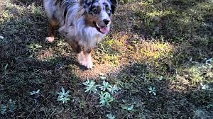 6 month old mini australian shepherd playing fetch with my 1 year old mini aussie indie youtube