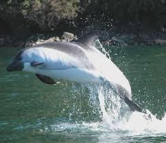 .::Delfín Austral o Atlántico::. Images?q=tbn:ANd9GcTQXBxTO9Q7vFb08BR8cRanLFnu8ebRF5KVaXvW2fkDzmOPX92zKIrhy9-5