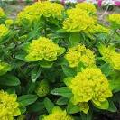 <b>Euphorbia</b> palustris. 1