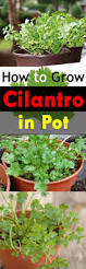 how to grow cilantro in a pot growing coriander in containers