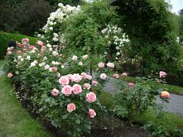 rose garden free stock photo public domain pictures