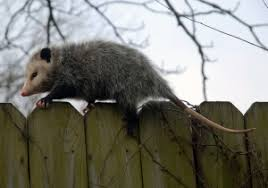 How Do You Get Rid Of Possums In The Backyard possum behavior and how to get rid of possums critter repellent blog