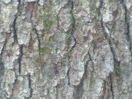White Oak Bark Oak Tree Tales From The Mom Side