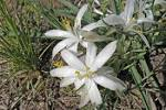 Image result for Leucocrinum montanum