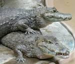Image result for Caiman crocodilus