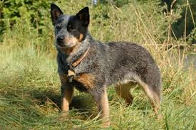 australian shepherd queensland heeler what you need to know about training blue heeler puppies u003e puppy toob