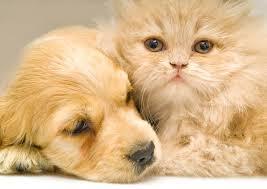 american pitbull terrier for sale in dallas texas dallas news breaking news for dfw texas world