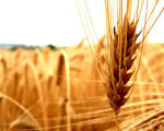 Is it Wheat vs. Chaff or Are We All Willed to Salvation
