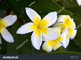Tree With Bright Yellow Flowers - bright yellow white plumeria flowers growing stock photo 11675200
