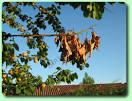 la moniliose - les maladies des plantes potagères - fairesonjardin.