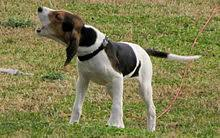 training a bluetick coonhound to hunt coon hunting wikipedia