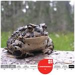 Image result for Anaxyrus canorus
