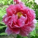 File:<b>Paeonia</b> suffruticosa at