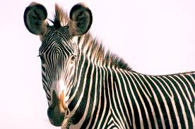 Image result for grevy's zebra