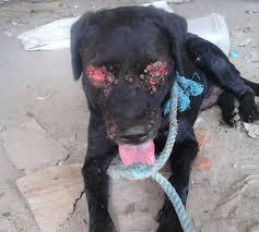 Cão tem globos oculares arrancados e aguarda resgate em Recife ...