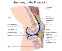 Structure Of Human Anatomy Functional Anatomy Of The Knee Movement And Stability