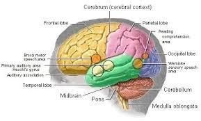 Sheep Brain Anatomy Game Brain Anatomy Games Cranial Nerves Frontal Lobe Quiz Matching