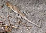 Image result for Acanthodactylus arabicus