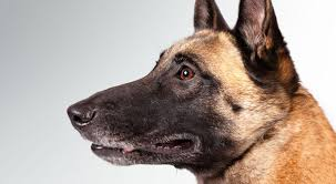 belgian sheepdog breeders in texas belgian malinois dog breed information american kennel club
