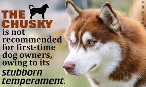 husky x australian shepherd for sale information about the stubborn chow chow siberian husky mix breed