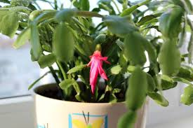 thanksgiving cactus information u2013 learn about thanksgiving cactus