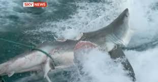 Florida Shark Attack Map by Massive Shark Nearly Bit Another Shark In Half Tracking Sharks