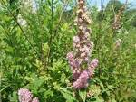 Image result for Spiraea tomentosa