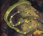 Image result for Gongylosoma mukutense