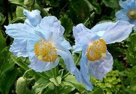 Fiori da piantare in autunno: il Papavero blu | PolliceGreen - papavero-blu