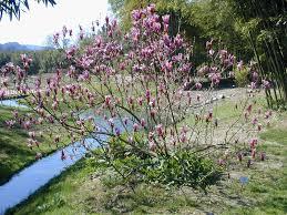 Magnolia à fleurs de lis