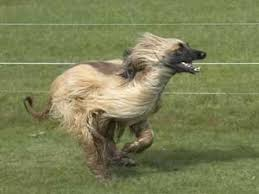 afghan hound long haired dogs afghan hound breed information and photos thriftyfun