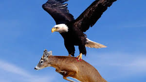 best eagle attacks world u0027s largest and deadliest part 2 bald