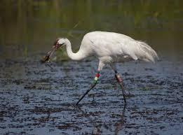 rare whooping crane migrates to north alabama whnt com