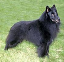 belgian sheepdog breeders in texas adopt a belgian sheepdog dog breeds petfinder