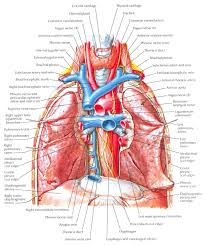 Anatomy And Physiology Of Lungs Lung Anatomy Pulmonary Artery Function Anatomy U0026 Physiology
