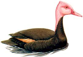 A female pink headed duck, painting of it floating on calm water
