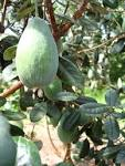 <b>Feijoa</b> - <b>Feijoa</b> sellowiana