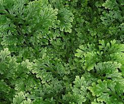 grow selaginella plants spike moss houseplant 411 how to