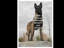 belgian shepherd nc der engle krieger k 9 llc belgian malinois puppies for sale
