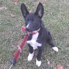 husky x australian shepherd for sale list of dog crossbreeds wikipedia