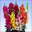 <b>Antirrhinum</b> Rocket Mix